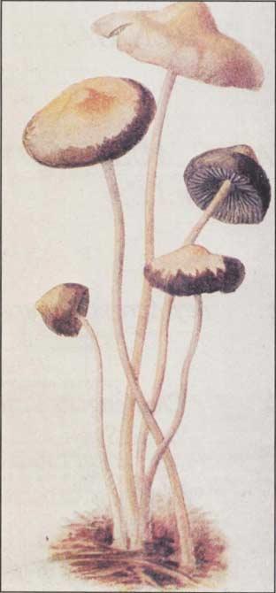 magic mushrooms around the world - Enteogenic Mushrooms