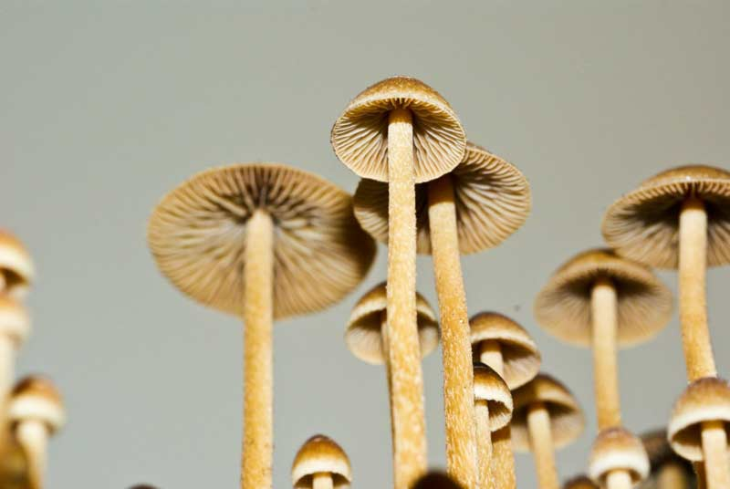a comprehensive sclerotia cultivation guide - Enteogenic Mushrooms