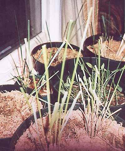psilocybe azurescens cultivation report - Enteogenic
