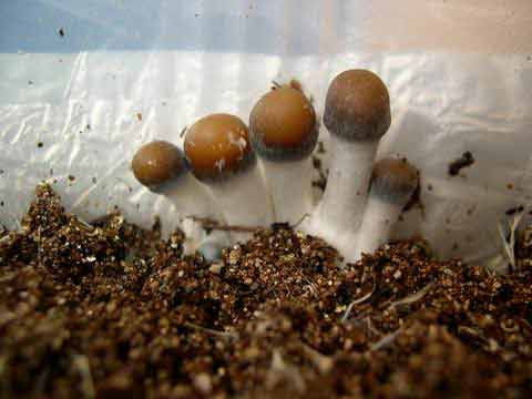 psilocybe azurescens indoor cultivation - Enteogenic Mushrooms
