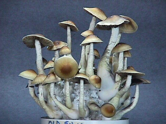 psilocybe fanaticus tek - Enteogenic Mushrooms - philosophy