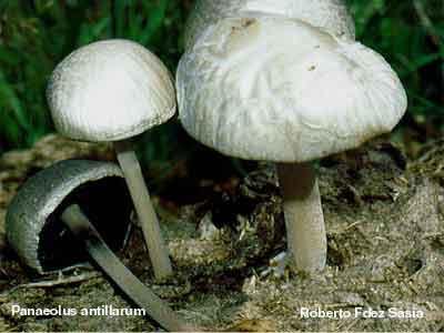 Panaeolus antillarum_0
