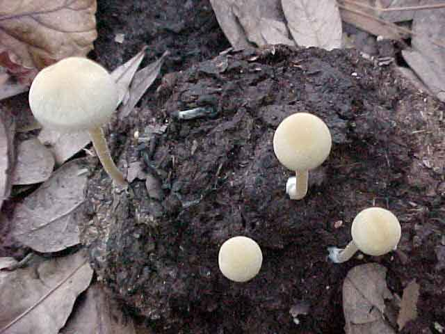 Panaeolus cyanescens - SPECIES AND STRAINS OF ENTEOGENIC
