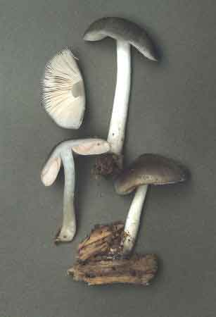 Pluteus salicinus_2