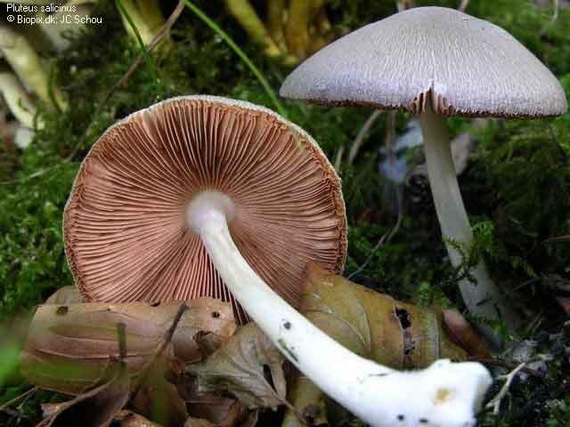 Pluteus salicinus_4