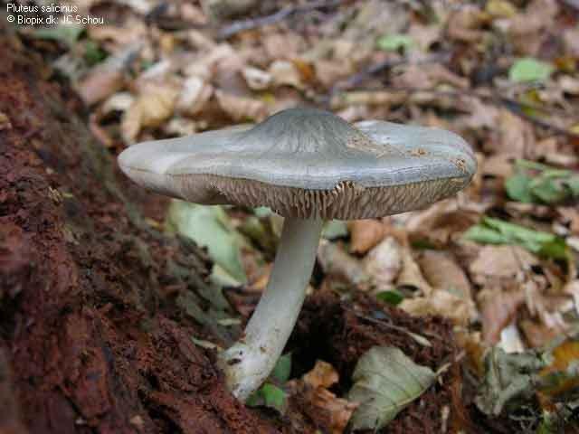 Pluteus salicinus_6