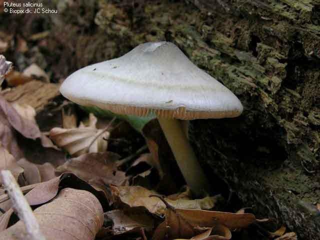 Pluteus salicinus_7