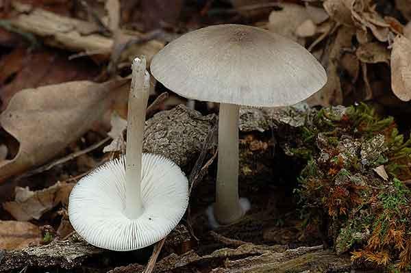 Pluteus salicinus_9