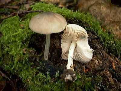 Pluteus salicinus_16