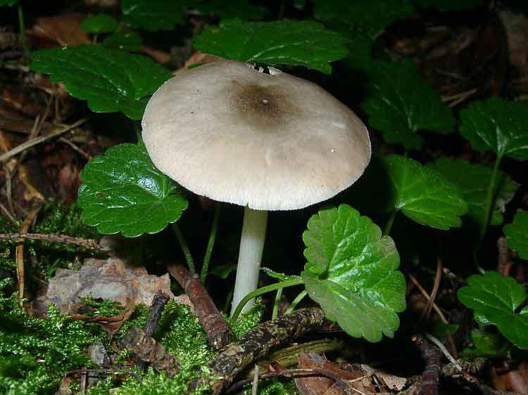 Pluteus salicinus_23