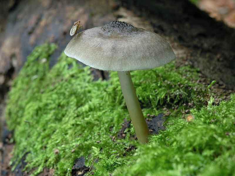 Pluteus salicinus_26