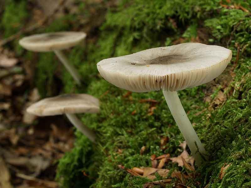 Pluteus salicinus_32