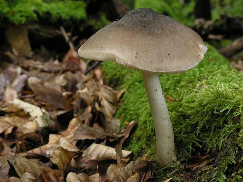 Pluteus salicinus_33
