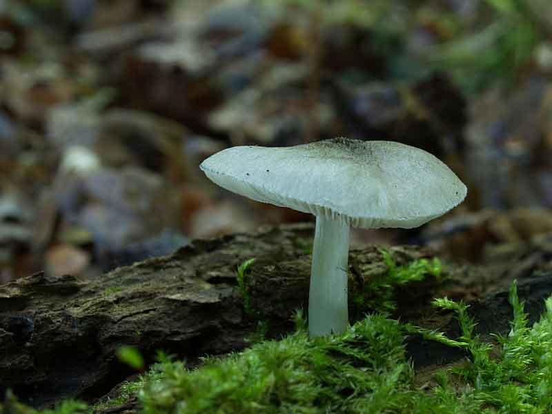 Pluteus salicinus_34