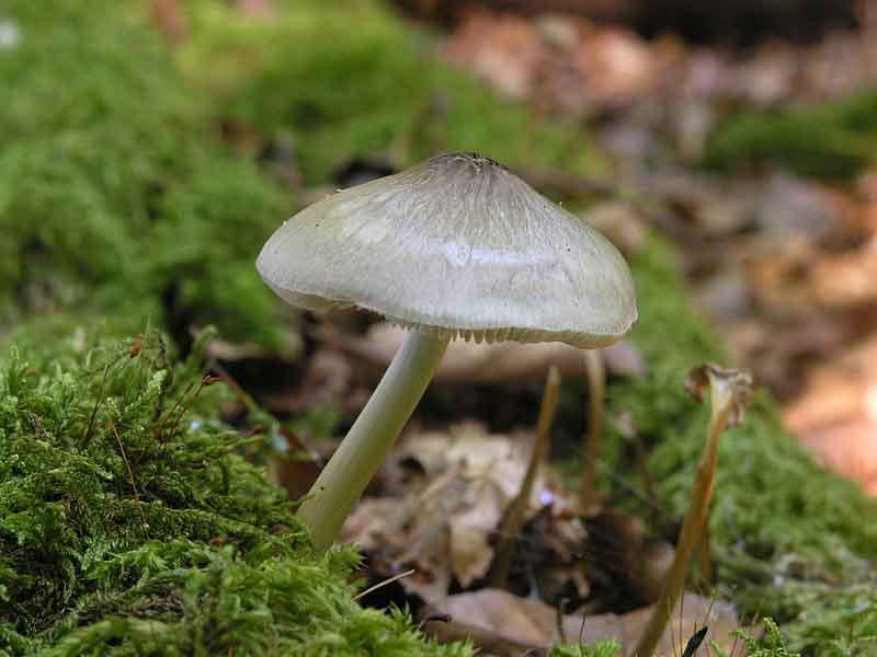 Pluteus salicinus_46