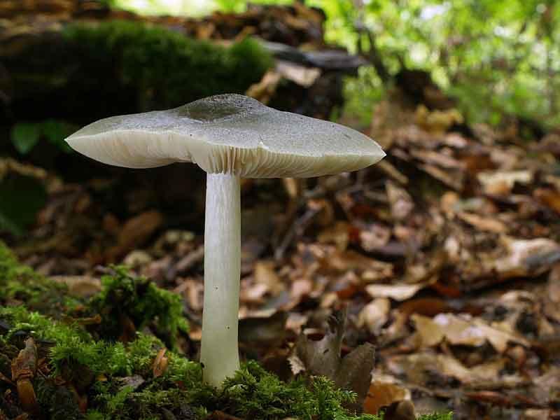 Pluteus salicinus_56