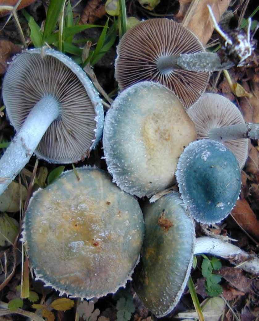 Psilocybe aeruginosa_29