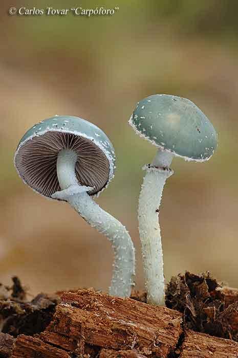 Psilocybe aeruginosa_37