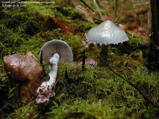 Psilocybe aeruginosa_44