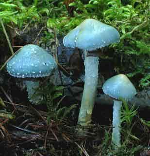 Psilocybe aeruginosa_49