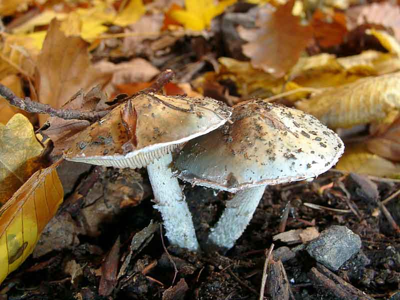 Psilocybe aeruginosa_59
