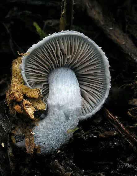 Psilocybe aeruginosa_66