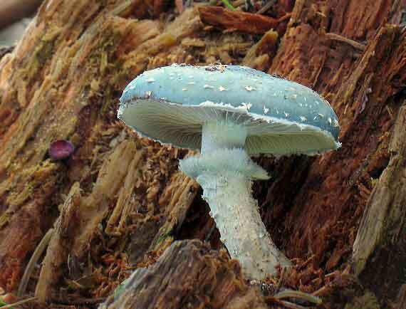 Psilocybe aeruginosa_68