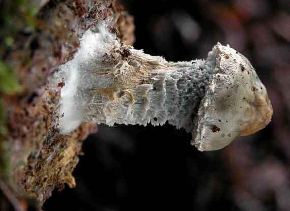 Psilocybe aeruginosa_74