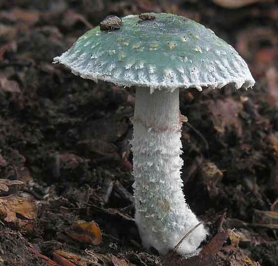 Psilocybe aeruginosa_80