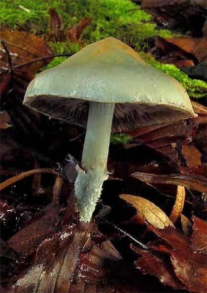 Psilocybe aeruginosa_87