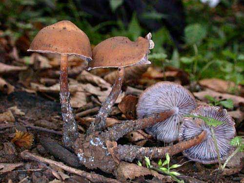 Psilocybe argentipes_68
