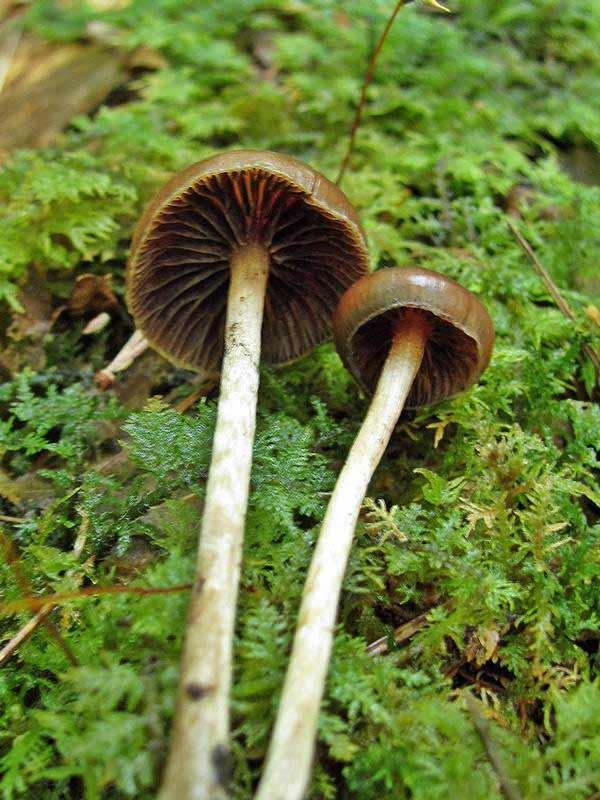 Psilocybe atrobrunnea_1