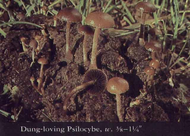 Psilocybe coprophila_16