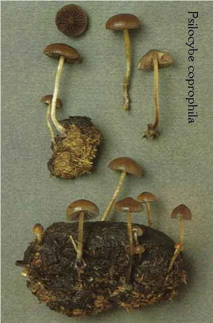 Psilocybe coprophila_23