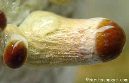 """Psilocybe cubensis """"Amazonian""""_2"""