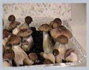 """Psilocybe cubensis """"Amazonian""""_13"""