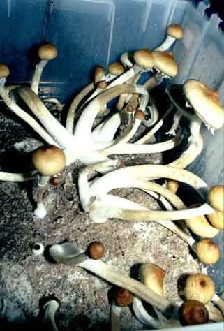 "Psilocybe cubensis ""Australian""_12"