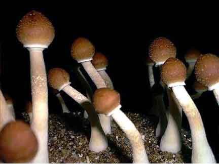 "Psilocybe cubensis ""B+""_2"