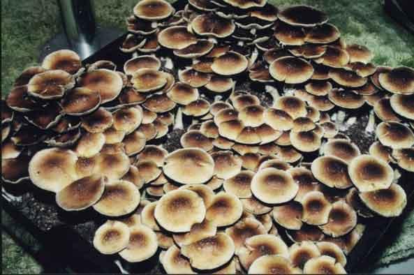 "Psilocybe cubensis ""B+""_19"