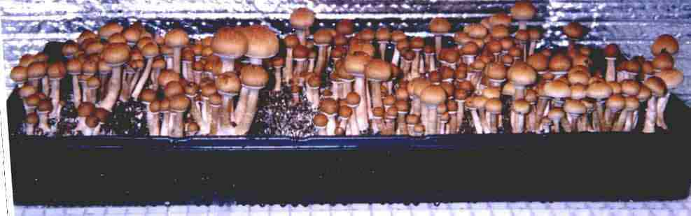 "Psilocybe cubensis ""B+""_25"