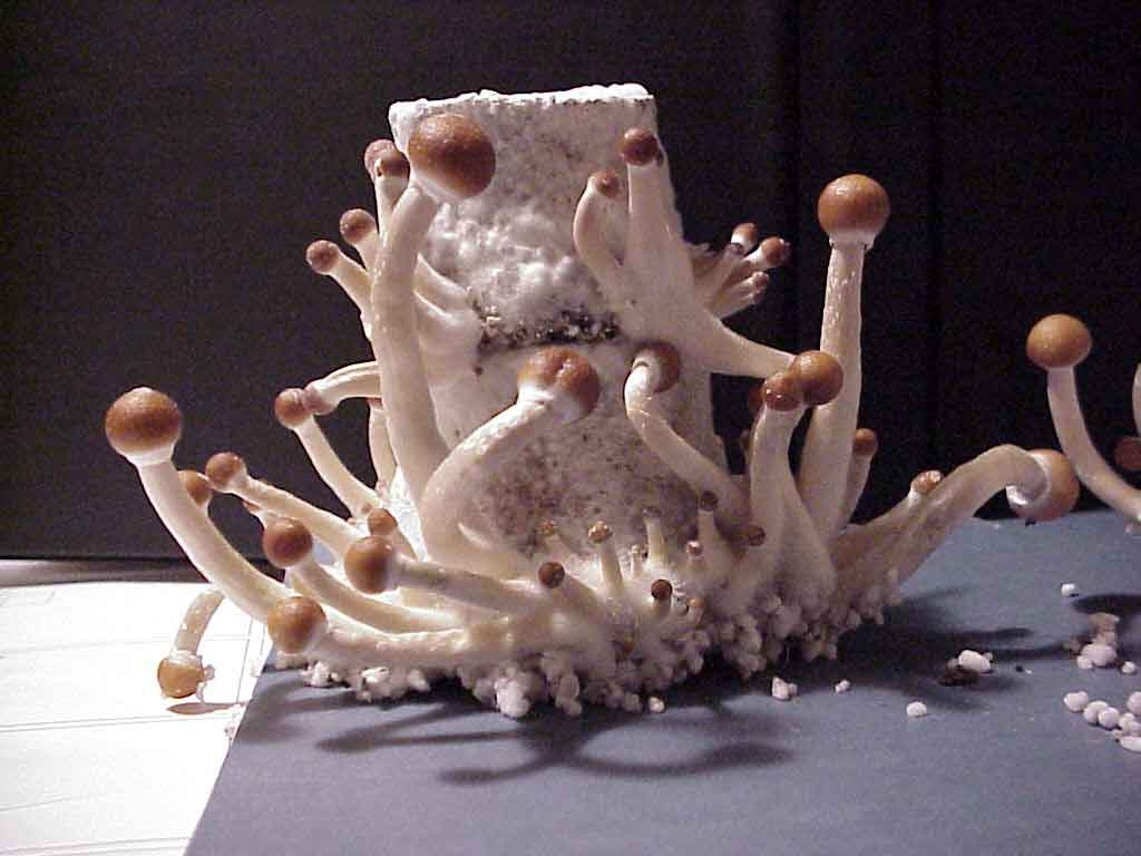 "Psilocybe cubensis ""B+""_27"