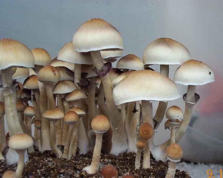 "Psilocybe cubensis ""Cambodia""_7"