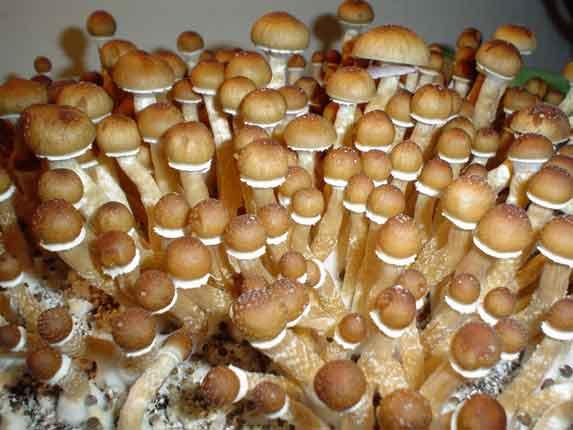 "Psilocybe cubensis ""Cambodia""_39"
