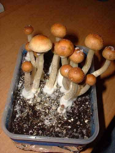"Psilocybe cubensis ""Cambodia""_49"
