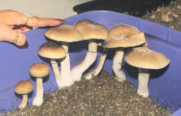 """Psilocybe cubensis """"Ecuador""""_21"""