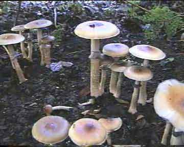 """Psilocybe cubensis """"Ecuador""""_28"""