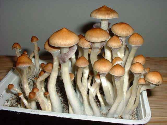 """Psilocybe cubensis """"Ecuador""""_61"""