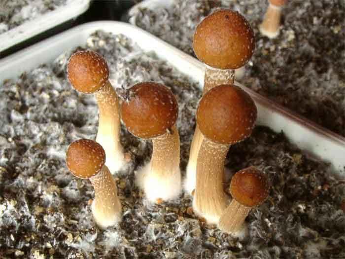 """Psilocybe cubensis """"Ecuador""""_73"""