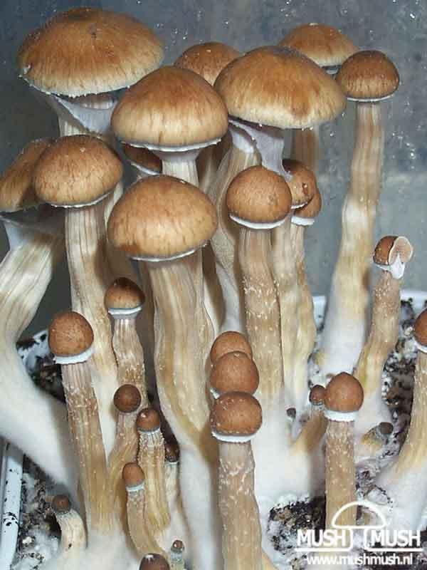 """Psilocybe cubensis """"Ecuador""""_81"""