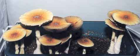 "Psilocybe cubensis ""Golden Teacher""_6"